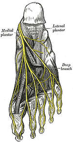 Gray's Anatomy, Plate 833, nerves of the bottom of the foot