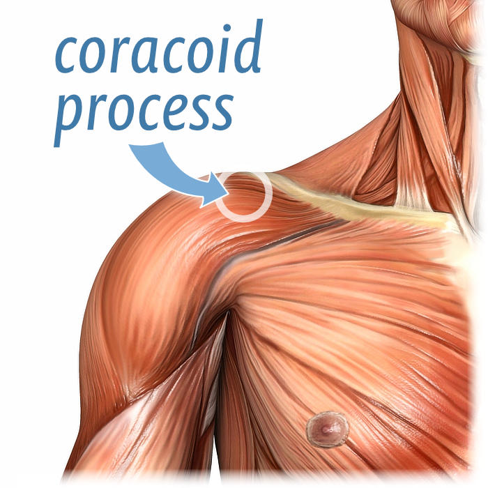 Anatomical Illustration Showing The Location Of Coracoid Process On A Superficial Dissection Shoulder